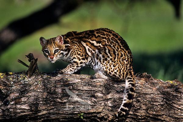 Ocelot (Leopardus pardalis), Central America.
