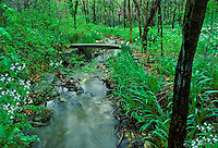 Spring glen in forest with creek flowing -- a small rock bridge crosses at the path and spring flowers, daffodils, bluebells, and redbud trees bloom in verdant green
