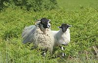 Scottish Blackface ewe and lamb in bracken, Yorkshire.