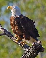 Bald eagle adult perched near mate