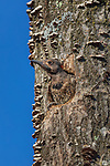 Northern flicker nestling about to leave the nest in northern Wisconsin.