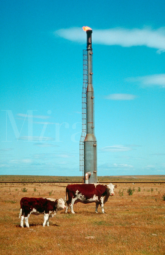 Cattle standing before a gas burnoff tower, cow, livestock, bovine, energy, fossil fuel. Argentina Patagonia.