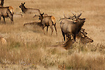 elk, wapiti, Cervus canadensis, bull, cows, wildlife, animal, ungulate, October, fall, autumn, afternoon, Moraine Park, Rocky Mountain National Park, Colorado, USA
