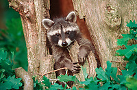 Raccoon (Procyon lotor), young looking out of tree hollow