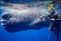 sperm whale, Physeter macrocephalus, entangled with fishing net, Italy, Mediterranean Sea, Atlantic Ocean