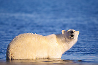 polar bear, Ursus maritimus, wading in water along the 1002 coastal plain of the Arctic National Wildlife Refuge, Alaska, polar bear, Ursus maritimus