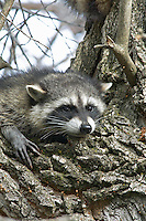 Raccoon in cottonwood tree.  Lower Klamath Lake National Wildlife Refuge, California