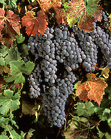 Clusters of CABERNET FRANC WINE GRAPES are ready for harvest