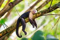white-headed capuchin, Cebus capucinus, aka white-faced capuchin, or white-throated capuchin, resting on tree, Osa Peninsula, Costa Rica