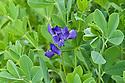 False or Blue indigo (Baptisia australis), end June.