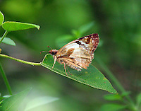 Laviana white skipper
