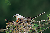 Scissor-tailed Flycatcher, Tyrannus forficatus,adult on nest with young, Welder Wildlife Refuge, Sinton, Texas, USA