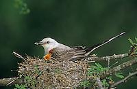Scissor-tailed Flycatcher, Tyrannus forficatus,adult on nest with young, Welder Wildlife Refuge, Sinton, Texas, USA