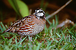 Northern bobwhite, Texas