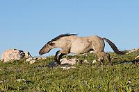 "Wild Horse or feral horse (Equus ferus caballus) stallion ""snaking"" (herding behavior).  Western U.S., summer."