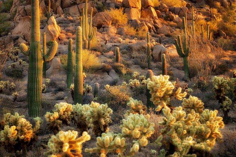 Saguaro and Cholla cactus. Sonoran Desert, Arizona