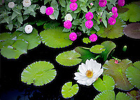 White tropical water lily and zinnias. Hughes Water Gardens. Oregon