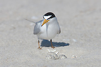 Least Tern (Sternula antillarum) guarding its nest of three eggs, Nickerson Beach, Lido Beach, New York