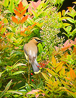 Gift card photo of a cedar waxwing (bombycilla cedrorum) is perched on bamboo stalk with a heavenly bamboo (nandina domestica) in background in full colors of red, orange, yellow and green.