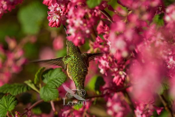 Female Rufous Hummingbird (Selasphorus rufus) nectaring on red-flowering currant blossoms.  Western Washington.  April.