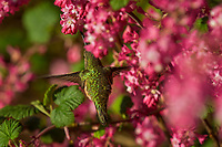 Female Rufous Hummingbird (Selasphorus rufus) nectaring on red-flowering currant blossoms.  Western Washington.  April.