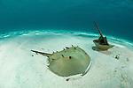 Prehistoric horseshoe crabs (Tachypleus gigas) in the sandy bottom in defensive position.