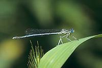 Gemeine Federlibelle, Blaue Federlibelle, Männchen, Platycnemis pennipes, white-legged damselfly