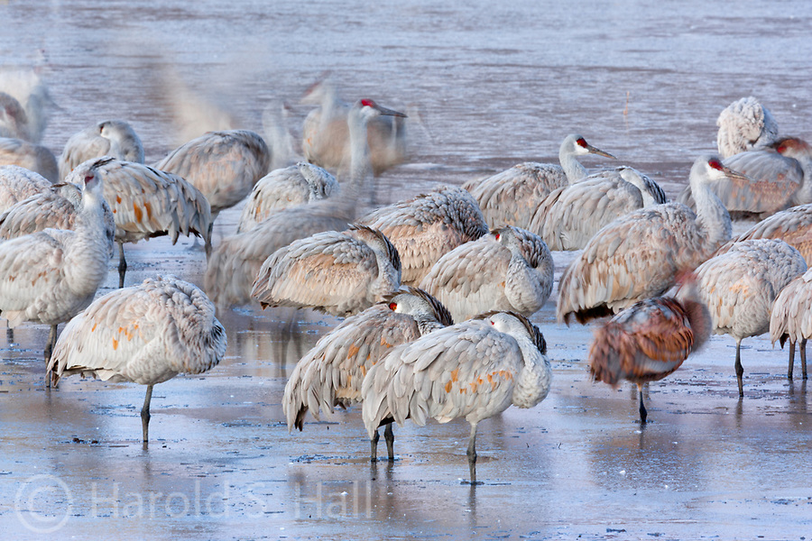 Bosque del Apache wildlife refuge was established about 80 years ago as resting and feeding grounds for migrating birds.  Sandhill cranes move between several ponds feeding throughout the day.  However, before they can fly to another pond, they must free their frozen legs from the pond where they spent a cold winter night.