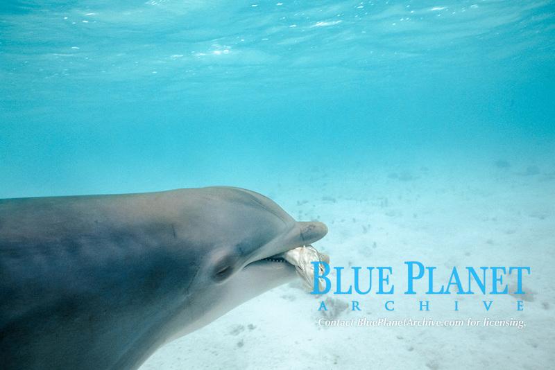 bottlenose dolphin, Tursiops truncatus, feeding on Nassau grouper, Epinephelus striatus, in rehab pen, Turks and Caicos, Caribbean Sea, Atlantic Ocean
