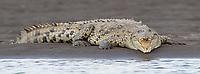Crocodiles are a big attraction on the Rio Tarcoles.