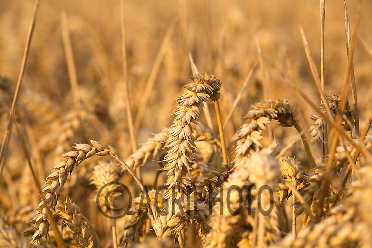 Ripe Winter Wheat Ready For Harvest<br /> Picture Tim Scrivener 07850 303986