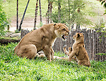 Lioness apparently expressing displeasure at one of her cubs, at the San Diego Zoo Safari Park