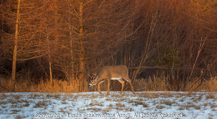 White-tailed buck in a snow-covered field.