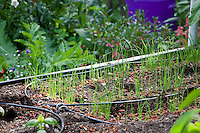 Vegetables, scallions, onions, starting in organic raised bed with drip irrigation; MUST CREDIT: Elvin Bishop Garden