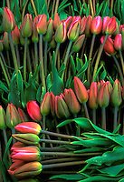 Fresh cut tulips