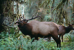 Roosevelt elk bull and cow, Hoh Rainforest, Olympic National Park, Washington, USA