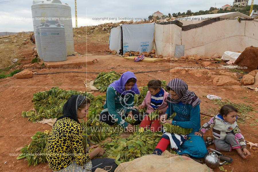 LEBANON Deir el Ahmad, camp for syrian refugees, women and children work as saisonal worker, tobacco harvest and drying / LIBANON Deir el Ahmad, Camp fuer syrische Fluechtlinge am Dorfrand, Frauen und Kinder arbeiten als Erntehelfer, Tabakernte und Trocknung