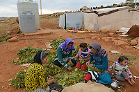 LEBANON Deir el Ahmad, camp for syrian refugees, women and children work as saisonal worker, tobacco harvest and drying / LIBANON Deir el Ahmad, Camp fuer syrische Fluechtlinge am Dorfrand, Frauen und Kinder arbeiten als Erntehelfer, Tabakernte und Trocknung