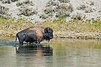 Buffalo swimming in Yellowstone River