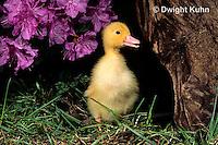 DG20-050z  Pekin Duck - four day old duckling exploring