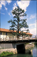 Gorgonzola, paese a est di Milano. Albero lungo il Naviglio Martesana --- Gorgonzola, small village east of Milan. Tree along the Naviglio Martesana canal