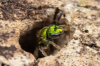 A Pure Green-Sweat bee (Augochlora pura) examines a cavity in a dead oak tree.