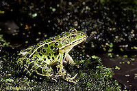 FR22-005b  Leopard Frog - adult - Lithobates pipiens, formerly Rana pipens