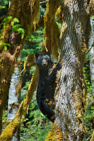 Black Bear (Ursus americanus) on the side of a big-leaf maple tree (Acer macrophyllum).  Pacific Northwest.  Spring.