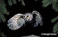 OW07-062z  Saw-whet owl - flying - Aegolius acadicus