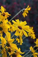 Encelia californica - Coast Sunflower, California brittlebush, or Bush Sunflower perennial subshrub flowering in Leaning Pine Arboretum