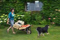 Europe/France/Aquitaine/47/Lot-et-Garonne/Fongrave: Elodie Chauvel, agricultrive en agriculture raisonnée à la Ferme des Tuileries récolte ses tomates du Marmandais