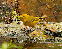 Adult male yellow warbler at pool at Paradise Pond in April