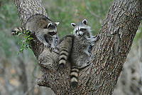 Northern Raccoon (Procyon lotor), young climbing Cedar Elm (Ulmus crassifolia), New Braunfels, San Antonio, Hill Country, Central Texas, USA
