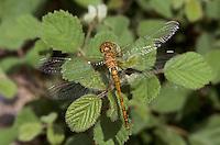 Große Heidelibelle, Weibchen, Sympetrum striolatum, Common Darter, female